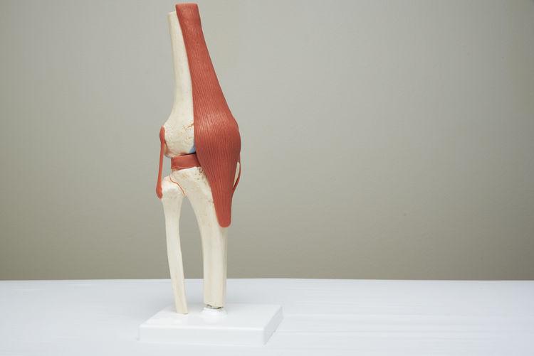 Human knee model in medical office Leg Medicine TENDON Thigh Anatomy Backgrounds Femur Fibular Indoors  Joint Lemniscus Ligament Medical Office Object Orthopedics Patella Surgery Tibia