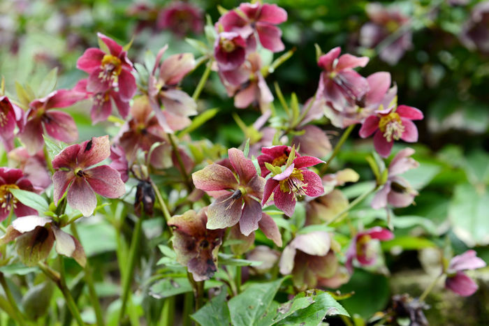 red purple Hellebore hybrids blossom in garden. springtime. Hellebores Hellebores Are Out Helleborus Helleborus Orientalis Helleborus Foetidus Helleborus Niger Red Close-up Growth Hellebore Leaf Nature Outdoors Plant Purple Flower