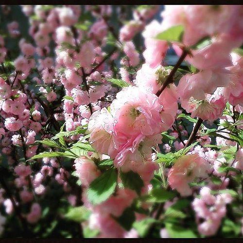 Spring Kievgram Kiev Instakiev Kyivgram Blossom Flowers Vso Vsocam
