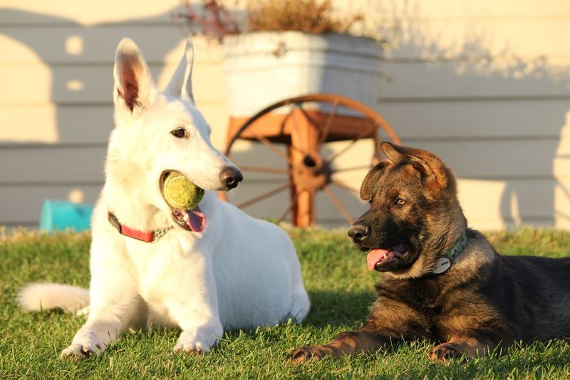 German shepherds looking at each other while sitting on grassy field