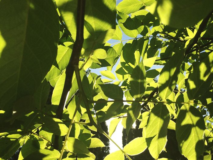 Leaf Green Color Growth Sunlight Day Nature No People Close-up Plant Outdoors Beauty In Nature Tree Freshness Garden Tree Sun EyeEm Selects Summer Light And Shadow Light Backgrounds Lots Of Leaves Vacations Leaves Creativity EyeEm Selects Neon Life Breathing Space Perspectives On Nature