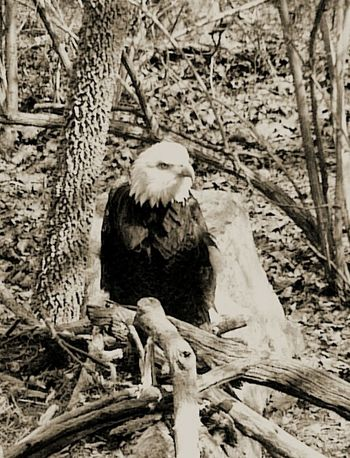 Monochrome Nature Eagles Bald Eagle