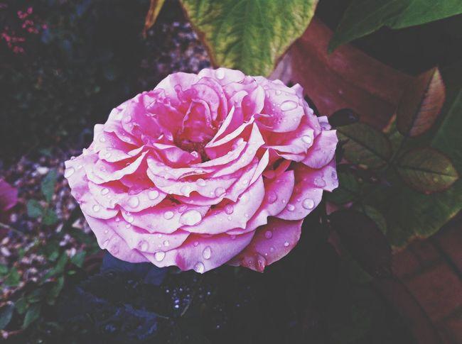 rose rain pink beautiful summer