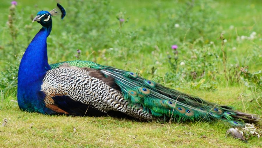 Bird Peacock Animal Themes Animals In The Wild Animal Wildlife Peacock Feather One Animal Nature Grass Feather  Field Focus On Foreground Beauty In Nature Fanned Out Green Color Day No People Close-up Outdoors Multi Colored EyeEm Nature Lover Beauty In Nature EyeEm Gallery Denmark 🇩🇰🇩🇰🇩🇰 Giveskud