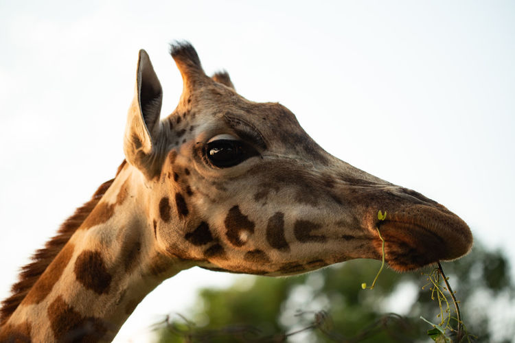 Close-up of giraffe looking away against sky