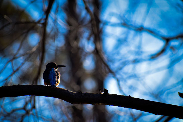 kingfisher on branch Bird Photography Kingfisher Wildbirds Wildbird Wildlife Bird Tree Perching Bird Of Prey Branch Animal Themes Sky The Great Outdoors - 2019 EyeEm Awards