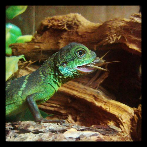 Rex's Lunchtime Mylizard Lizard Love Lunchtime! Feeding Time