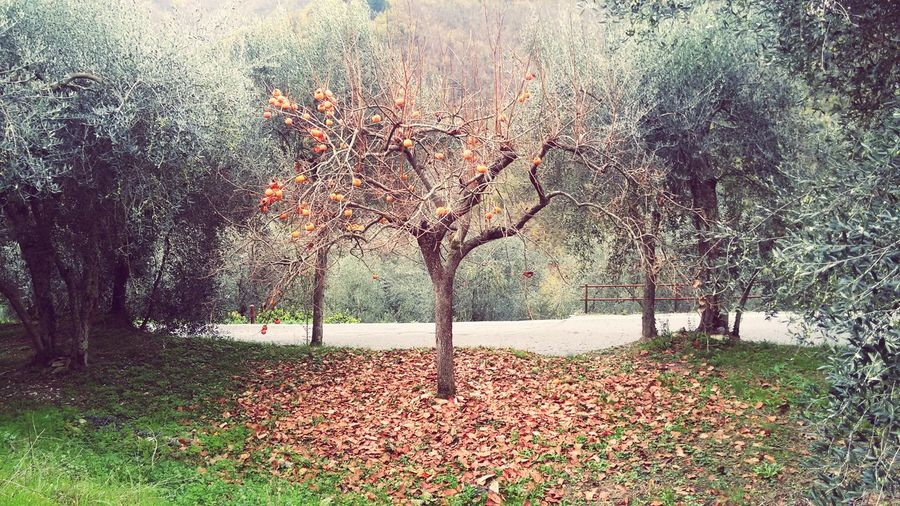 Countryside Kaki Cachi Trees Nature Vallearroscia Liguria EyeEm Liguria