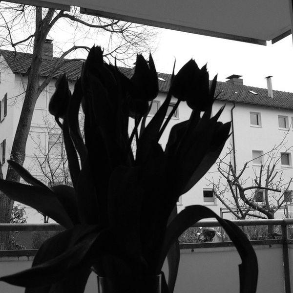 Tulpen Schwarzweiß Wohnen Blumen Fenster Badenwürttemberg Nikon D5300 Bestphotooftheday Frühling Badenwürttemberg Instagermany