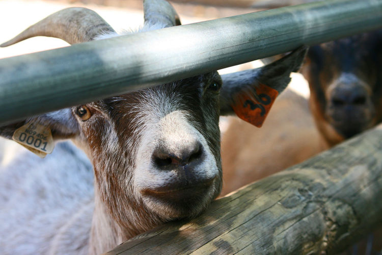 Goat Horns Animal Themes Close-up Day Domestic Animals Domesticated Animal Tag Farm Animal Focus On Foreground Hungry Goat Livestock Looking At Camera Mammal Nature No People One Animal Outdoors Portrait The Week On EyeEm