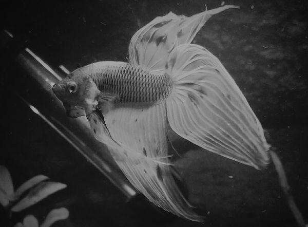 Fish Betta  Betta Fish Bettas Bettafishcommunity