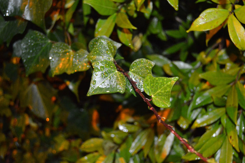 Leaf Close-up Green Color Nature Plant Growth Freshness The Week On EyeEm Pluviophile Storm Rain Raindrops Drops Perspectives On Nature