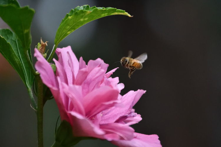 Honey Bee Buzzing By Pink Flower