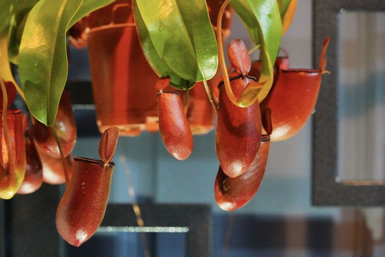 Close-up of hanging nepenthes plant
