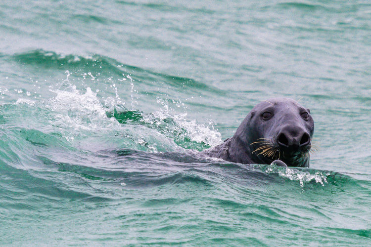 Gray Seal in the ocean waves Animal Animal Body Part Animal Head  Animal Nose Animal Themes Animal Wildlife Animals In The Wild Aquatic Mammal Day Mammal Marine Motion Nature No People One Animal Outdoors Portrait Sea Seal - Animal Swimming Underwater Vertebrate Water Waterfront