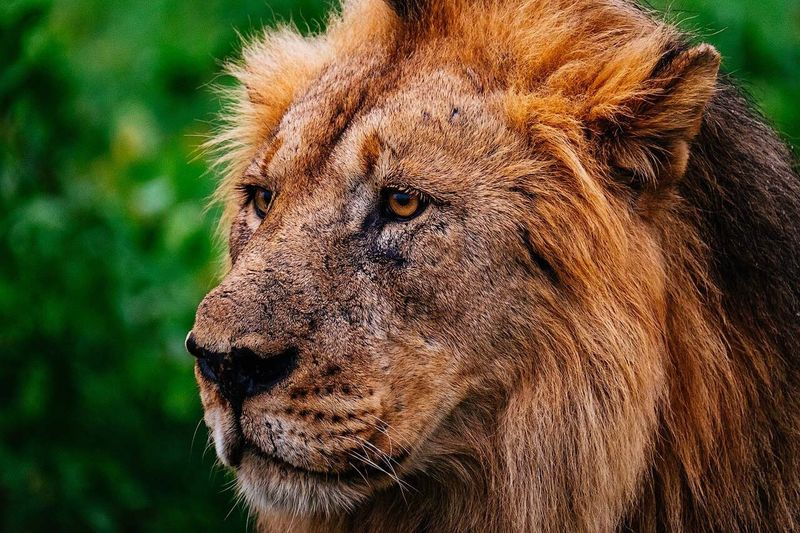 Beautiful male African Lion Animals In The Wild Lion - Feline One Animal Animal Wildlife Animal Head  Animal Themes Day Close-up No People Mammal Nature Outdoors