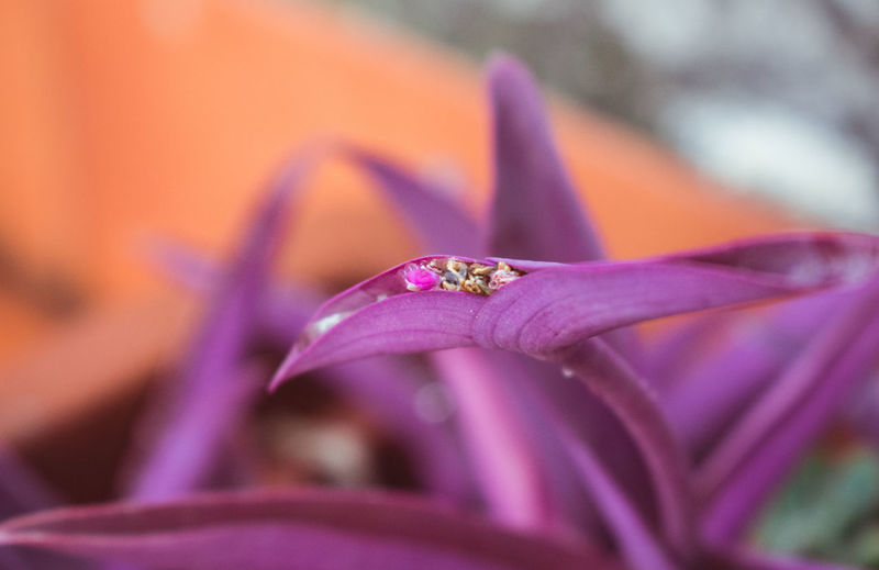 Nikon Nikon Photography Beauty In Nature Botany Close-up Flower Flower Head Flowering Plant Focus On Foreground Fragility Freshness Growth Inflorescence Nature Nikon D3400 No People Outdoors Petal Pink Color Plant Pollen Purple Selective Focus Setcreasea Purpurea Vulnerability