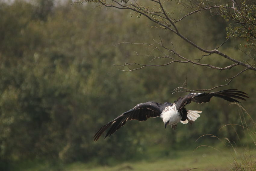 Eagle going in to attack Animal Themes Animal Wildlife Animals In The Wild Bird Bird Of Prey Day Flying Mid-air Motion Nature No People One Animal Outdoors Spread Wings Tree Vulture