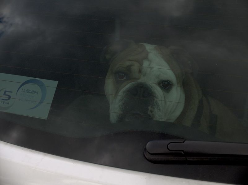 Animal Body Part Bulldog Bull Dog Doggies Mutt Pouch Close-up Documentary Nature Photography Photography Taking Photos A Dog In A Car Focus On Foreground Mammal No People Part Of Portrait Reportage Images Taking Photos Photography From My Point Of View