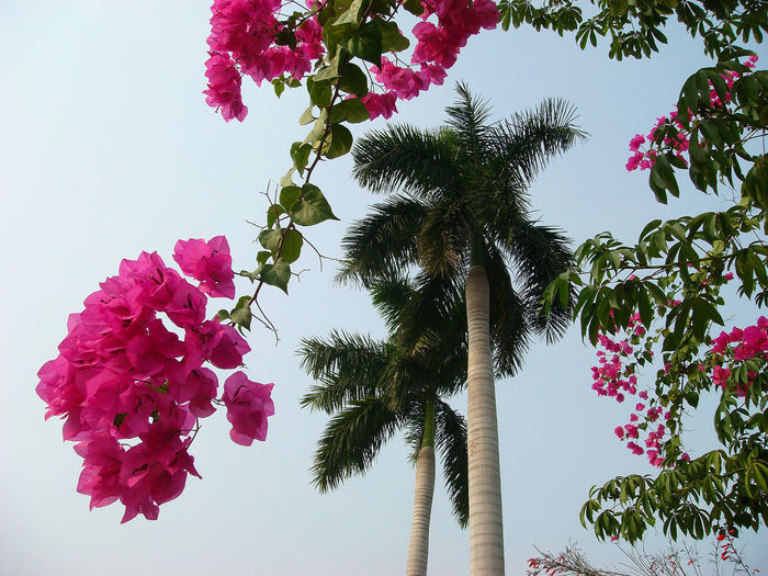 Branches of beautiful vivid bougainvillea, palm tree, blue sky. Concept paradise pleasure. Pink Color Beauty In Nature Flower Growth Nature Close-up Flower Head Freshness Plant Flowering Plant Tree Sky Tropical Climate Outdoors Tropical Boungavillie Vivid Palm Tree Palm Pleasure Paradise Island Colorful Exotic Season