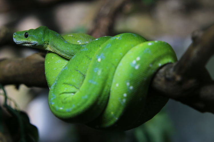 Close-Up Of Green Snake On Tree Branch