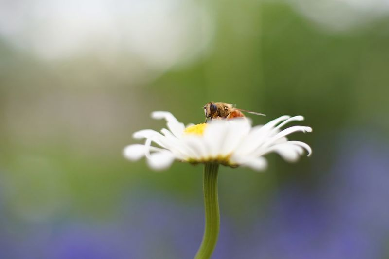 Close-up of bee pollinating on flower