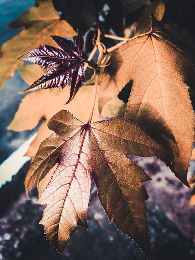 Autumn Beauty In Nature Change Close-up Day Dry Focus On Foreground Fragility Growth Leaf Leaf Vein Leaves Maple Leaf Natural Condition Nature No People Outdoors Plant Plant Part Selective Focus Tree Vulnerability