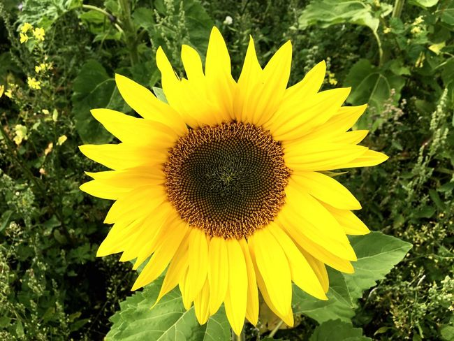 Flower Yellow Fragility Petal Growth Flower Head Freshness Plant Sunflower Nature Beauty In Nature Outdoors Field Day Pollen Blooming Close-up Leaf No People Springtime