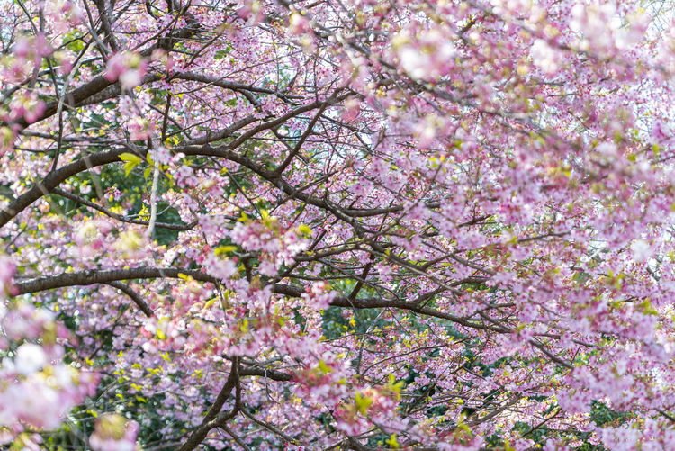 Close-up of fresh pink flower tree