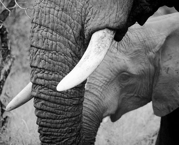 Elephant Animal Trunk Animals In The Wild Animal Wildlife Animal Body Part One Animal African Elephant Animal Themes Tusk No People Safari Animals Close-up Outdoors Trunk Day Mammal Nature Wildlife Beauty In Nature EyeEm Best Shots Check This Out Monochrome Black And White in Kruger Park , South Africa MISSIONS: The Great Outdoors - 2017 EyeEm Awards The Portraitist - 2017 EyeEm Awards