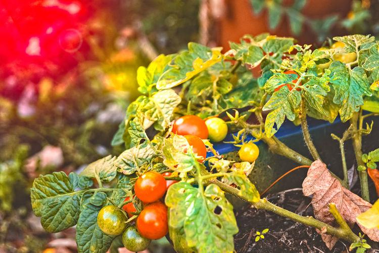 Tomato Green