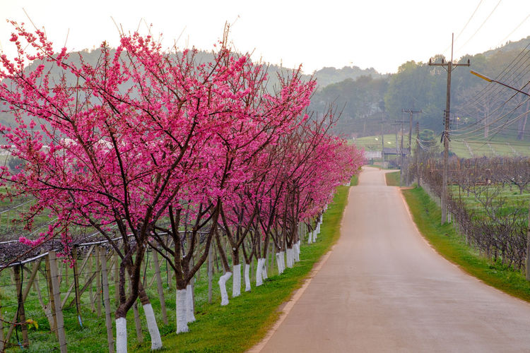 Plant Flower Tree Flowering Plant Growth Beauty In Nature Nature Blossom Road The Way Forward Pink Color Springtime Sky Freshness Fragility Direction Scenics - Nature Tranquility Day Diminishing Perspective No People Cherry Blossom Outdoors Cherry Tree Treelined