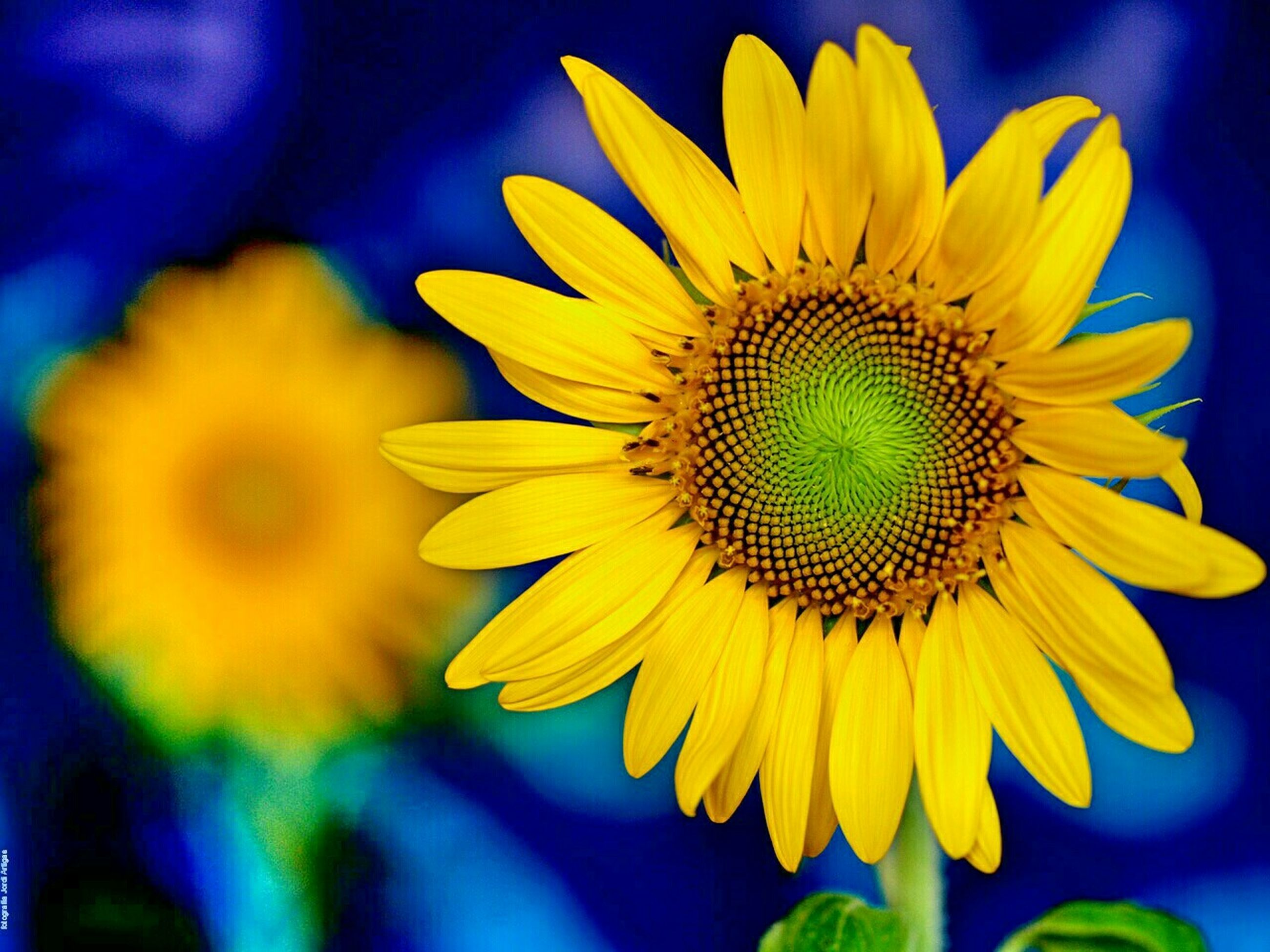 yellow, flower, freshness, growth, petal, fragility, close-up, flower head, beauty in nature, nature, focus on foreground, plant, blooming, sunflower, single flower, pollen, in bloom, selective focus, vibrant color, outdoors