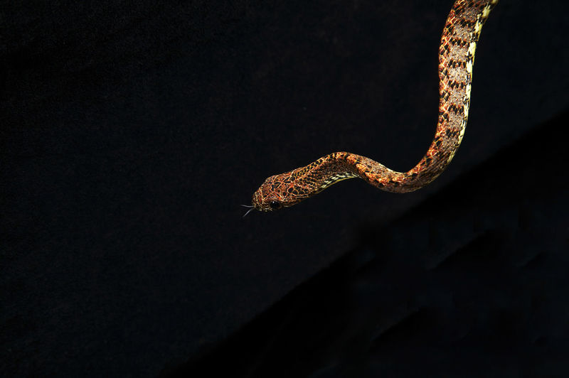Madagascar Tree Boa Snake on the black background Animals In The Wild Black Background Madagascar Tree Boa Snake Nature Reptile Snake Tree Animal Animal Captivity Animal Scale Animal Themes Animal Wildlife Branch Close-up No People One Animal Studio Shot Tree Boa Snake Vertebrate Zoology