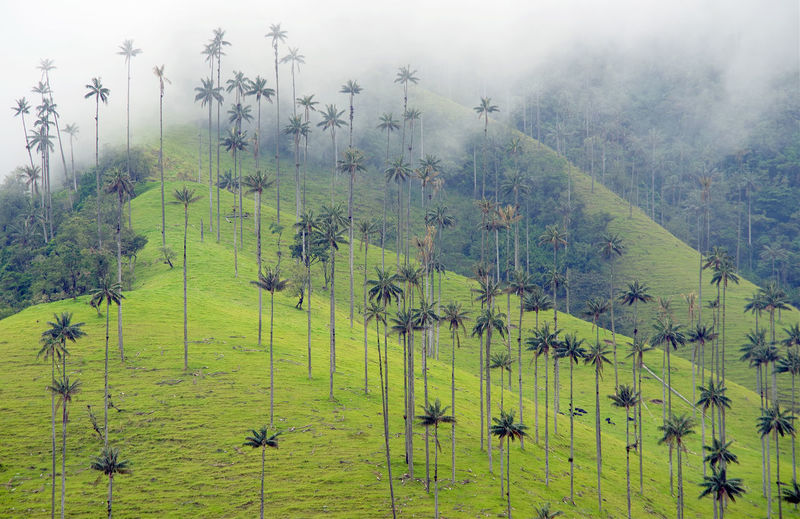 Cocora Valley in Colombia, South America Nature Outdoors Cocora Cocora Valley Colombia Colombia ♥  Salento Colombia Salento Landscape Landscape_Collection Landscape_photography Travel Travel Photography Travel Destinations Wax Palm Wax Palm Tree Valley Alpine Cordiliera Cordiliera Central Trekking Tree Misty Rainy Season Foggy