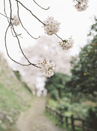 120 Film Beauty In Nature Blooming Blossom Branch Close-up Day Flower Focus On Foreground Fragility Freshness Growth In Bloom Nature Outdoors Petal Plant Season  Selective Focus Springtime Tree