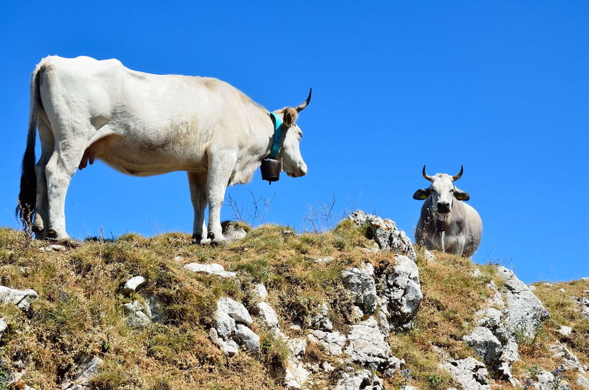 Cows grazing in the high mountain pastures in summer. Animals Landscape Animal Animal Themes Backgrounds Beauty In Nature Blue Clear Sky Cow With Horn Cows Cows Grazing Cows Mountain Grazing Horn Landscape Mammal Mountain Nature Outdoors Pasture Pasture, Paddock, Grassland, Pastureland Rock Rock - Object Rock Formation Sky
