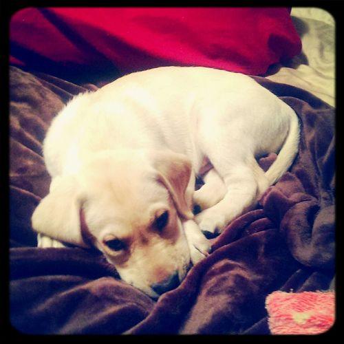 Rico. Puppy Lab Cute Pets Adorable
