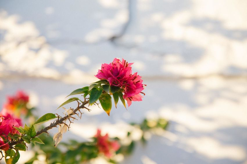 Beauty In Nature Bougainvillea Close-up Day Flower Flower Head Flowering Plant Focus On Foreground Fragility Freshness Growth Inflorescence Nature No People Outdoors Petal Pink Color Plant Red Rosé Springtime Vulnerability