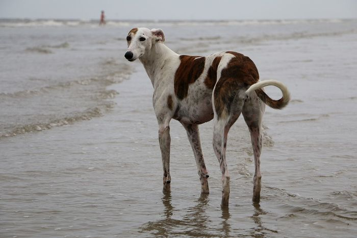 galgo is standing in the ocean Bath EyeEm Pets Galgo Galgo Español. Animal Themes Beach Day Dog Domestic Animals Galgo Espanol Galgoespañol Greyhound Mammal Nature No People Nordsee Northsea One Animal Outdoors Pets Sea Standing Water Wet Windhund