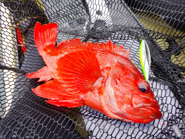 A vermillion rockfish caught on a jig from a kayak near Cambria, California. Beauty In Nature California Fish Fishing Kayak Fishing Kayakfishing Locavore Lure Nature Net Orange Color Red Red Color Rockfish Seafood Sebastes Vermillion