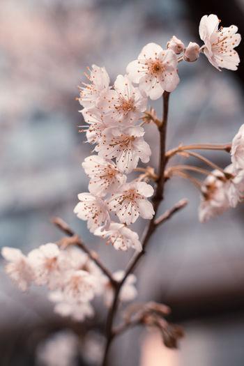 Close-up of cherry blossom, sakura