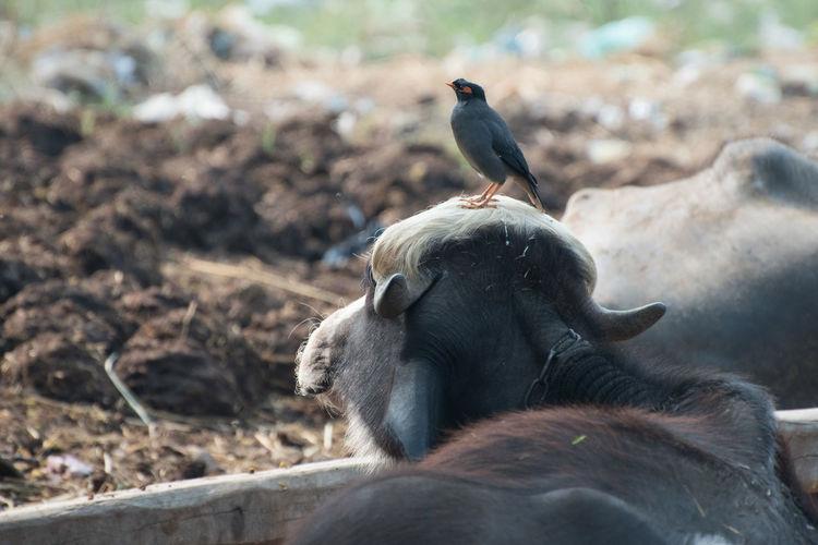 Animal Animal Head  Bird Buffalo Close-up Day Mammal Myna No People One Animal One Bird Outdoors