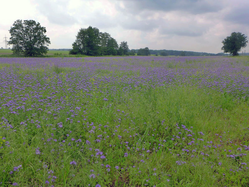 Pflanzen am Elberadweg Beauty In Nature Blooming Flower Fragility Freshness Growth Nature Phacelia Phacelia Tanacetipholia Plant