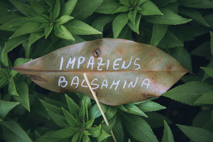 Impatiens balsamina. Garden Balsam Green Green Color Impatiens Balsamina Nature Plant Plants Day Green Color Growth Leaf Nature_collection No People Outdoors Plant Text