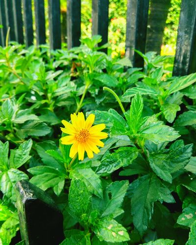 MumbaiDiaries Culture Of Holiday Color Of Technology Peopleandplaces Flower Freshness Fragility Growth Petal Yellow Beauty In Nature Leaf Flower Head Plant Springtime Blossom In Bloom Nature Season  Botany Green Color Day Vibrant Color Outdoors