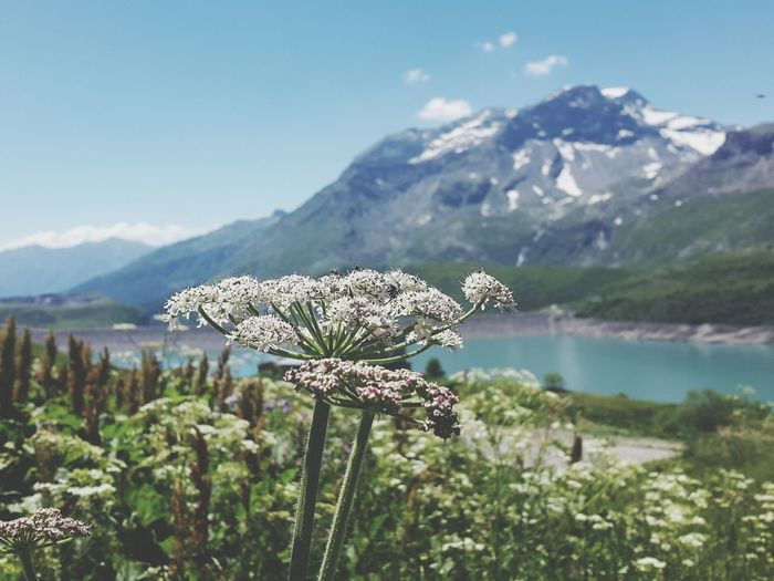 Close-up of flowers against lake and mountains