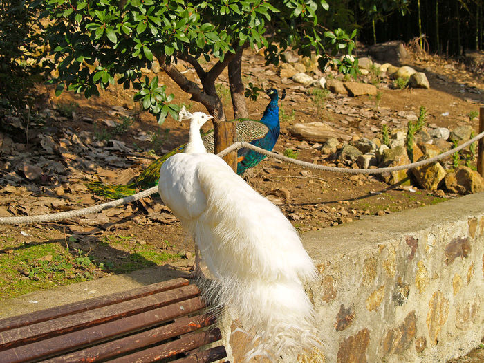 Albinism Albino Albino Peacock Animal Animal Themes Animal Wildlife Animals Animals In The Wild Animals In The Wild Beauty In Nature Bird Bird Photography Birds Countrylife Day No People One Animal Outdoors Pavo Cristatus Peackock Rural Scene White Color White Peacock Wildlife