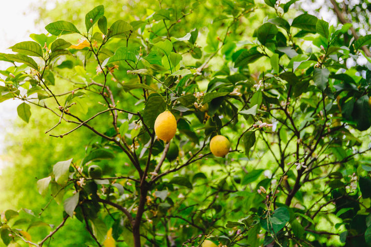 Lemon tree with lemons during flowering and ripening in a spring garden. Lemon Tree Ripe Branch Fresh Lemons Nature Agriculture Plant Citrus  Food Leaf Yellow Organic Freshness Fruit Hanging Green Natural Flowering Vitamin Crop  Healthy Harvest Foliage Growing Juicy Bunch Gardening Summer Spring Flowers Sun Growth Garden Cultivated Botanical Vegetation Eco Ecology Detail Background