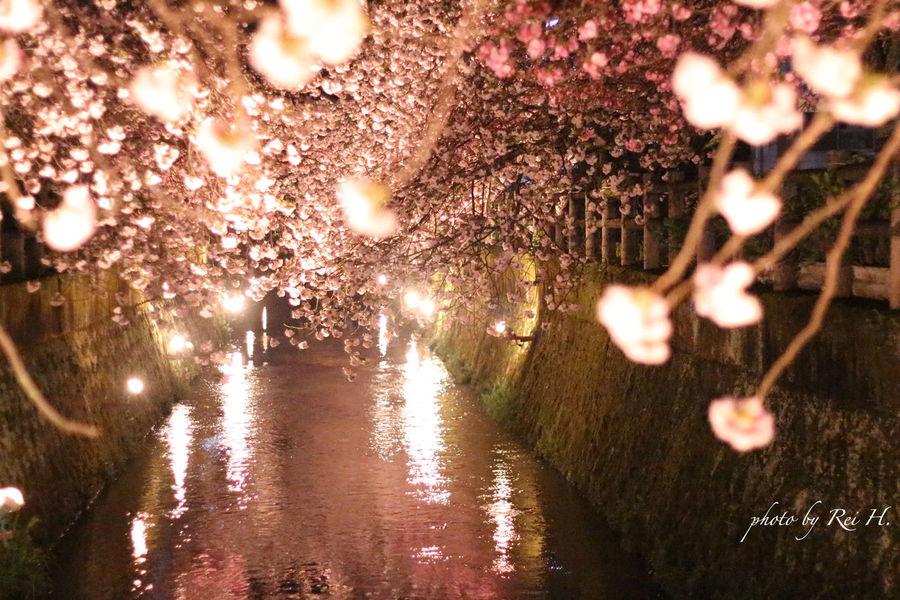 桜のトンネル 桜 花 単焦点 Cherryblossoms Flowers Singlefocus 50mm Canon